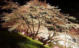 満開の桜並木や新登場&話題のウサギ観音へドライブ 新潟県佐渡市