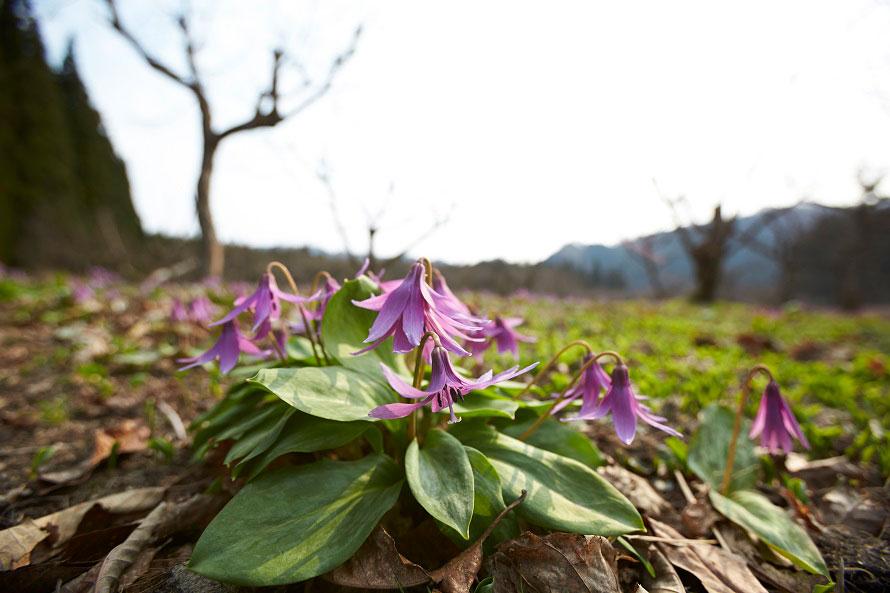 カタクリの花言葉は「初恋」。うつむき加減にひっそりと咲く様子は花言葉にピッタリ。
