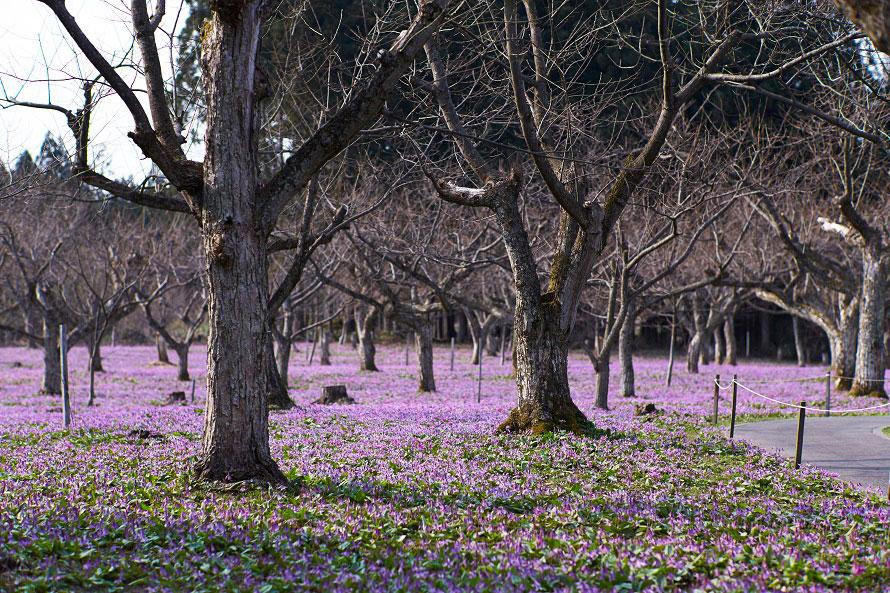 薄紫色のカタクリの中、珍しい白いカタクリもちらほらと垣間見える。