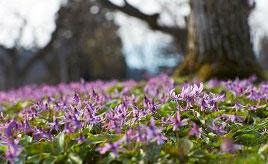 愛らしいカタクリが作る薄紫色のじゅうたん!春を告げるかたくり群生の郷へドライブ 秋田県仙北市