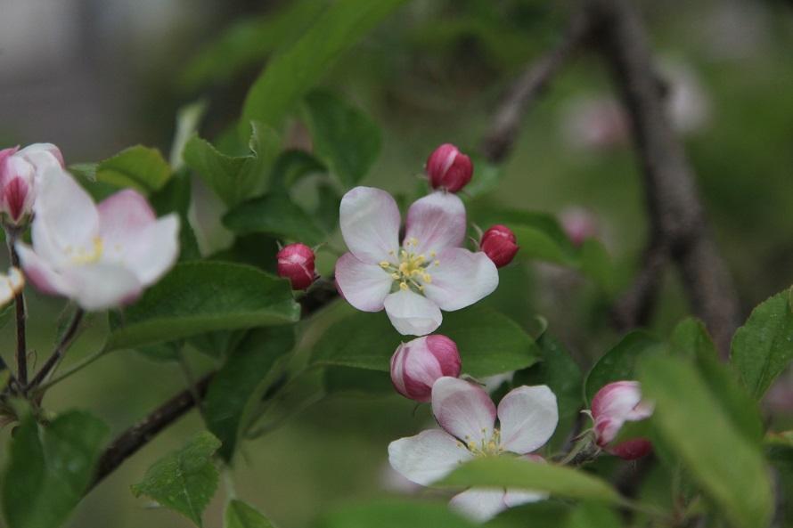 リンゴの木は飯田市の市木に制定されている。花は白く可憐で愛らしい。
