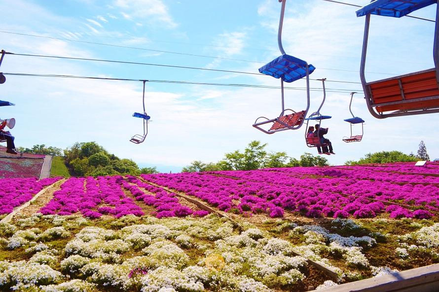 駐車場に車を停めて、観光リフトで萩太郎山山頂へ。リフトの上から芝桜の丘を一望できる。
