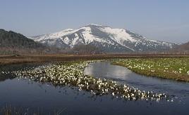 日本人の心のふるさと!歌にも歌われる「尾瀬のミズバショウ」を見にドライブへ 群馬県片品村