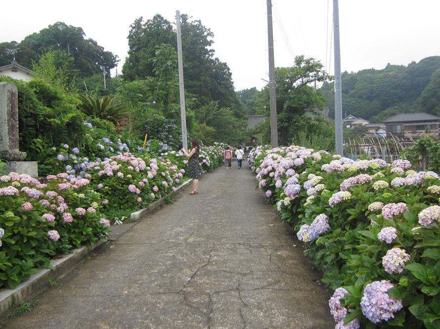 あじさい寺として知られる古刹。日本古来からあるガクアジサイも咲く。