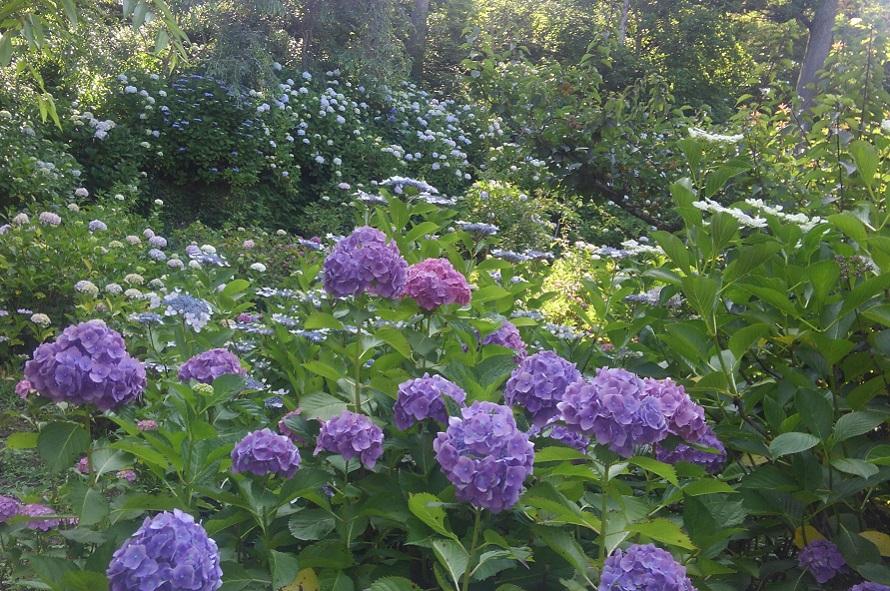 斜面に至るまで、青や青紫、ピンクなど色鮮やかなアジサイが満開に。