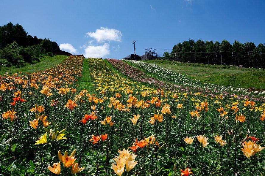 ユリの花々が埋め尽くす「ゆり大斜面」はフラワーリフト終着駅近くにある。