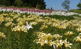 国内最大級!400万輪のユリの花が咲き誇るハンターマウンテンへドライブ 栃木県那須塩原市