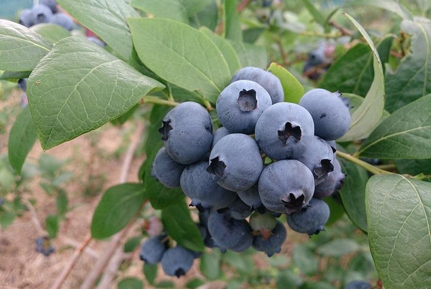 ブルーベリーの実は成熟するにつれ緑色から赤色、青色と変化していく。青藍色で表面が白い粉をふいたようになれば完熟した状態。