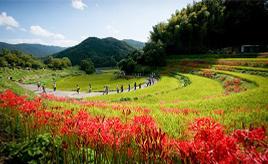 令和初!万葉ゆかりの地の「飛鳥光の回廊・彼岸花祭り」へドライブ 奈良県明日香村