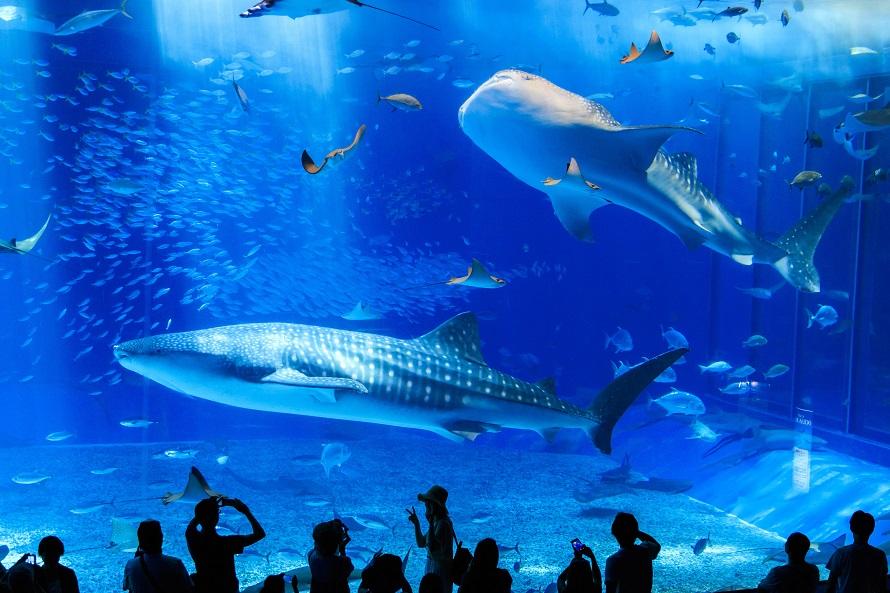 写真提供 国営沖縄記念公園(海洋博公園):沖縄美ら海水族館大きなジンベエザメがゆったりと泳ぐ「黒潮の海」は大迫力。