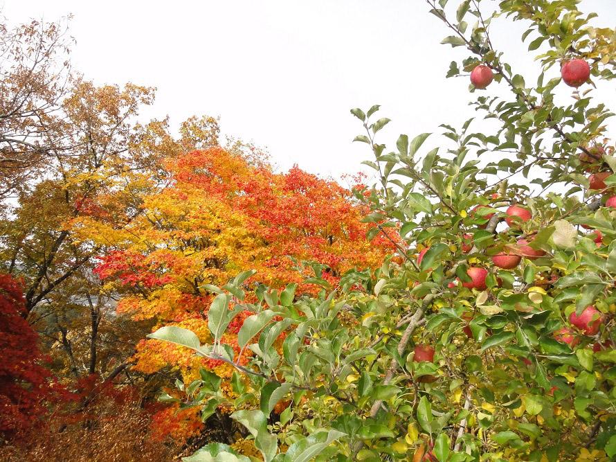 「天龍峡りんご狩り組合案内所」に加盟している農園は23軒。いろいろな品種のリンゴを食べ比べられるかも。