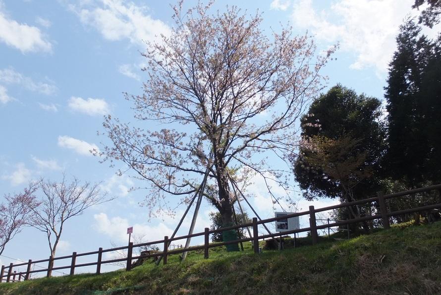 ビュースポット「一本桜の丘」は映画の最後のシーンに登場する。