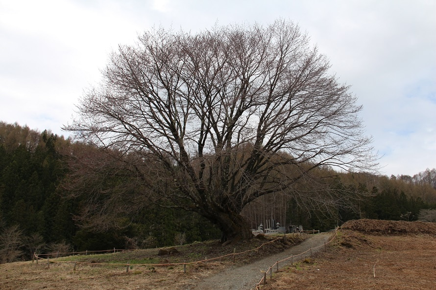 桜の種類はオオヤマザクラ。ヤマザクラより花が大きく、色も濃い。