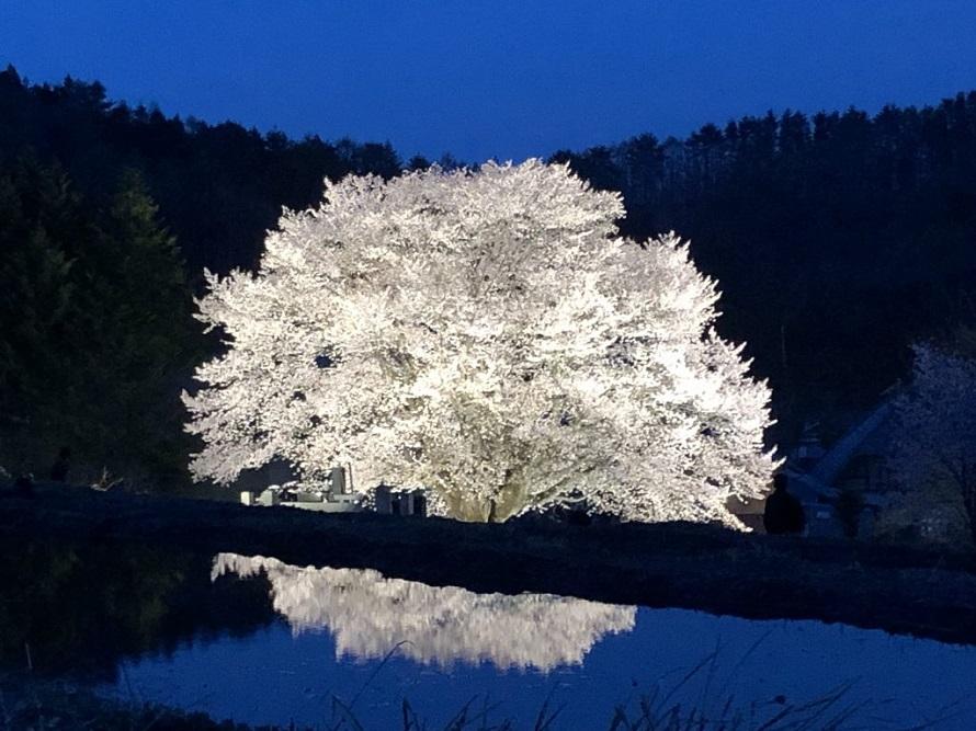1本の木でこの迫力。日没後ライトアップされた桜は幻想的で神々しい。