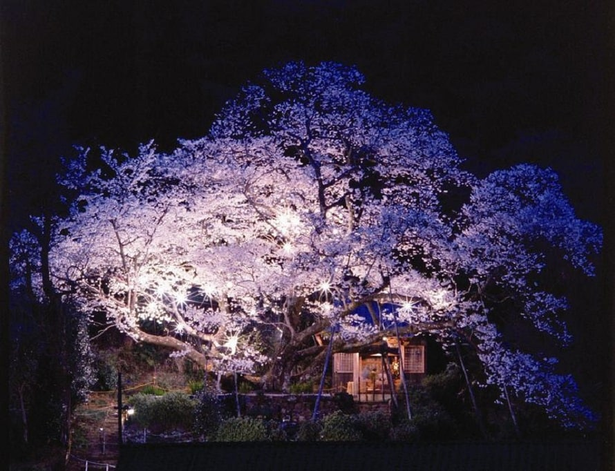 「明星桜」の名前の由来は、夜、木の下で火を焚くと花びらに火が映り、明星のように見えるからだという。