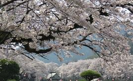 都内から気軽に日帰りドライブ!カフェや温浴施設へ、桜を愛でに出かけよう 神奈川県山北町