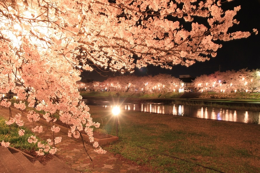 ぼんぼりでライトアップされた夜桜は、日中とはまた違った美しさ。