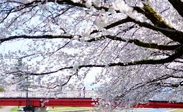 ピンクの桜トンネルに春を実感!ふくみつ千本桜へドライブ 富山県南砺市