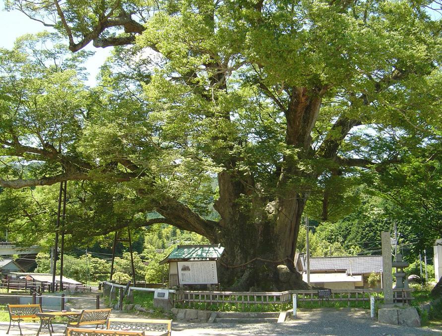 能勢のシンボル的存在の「野間の大けやき」は、西日本最大級の大きさ。