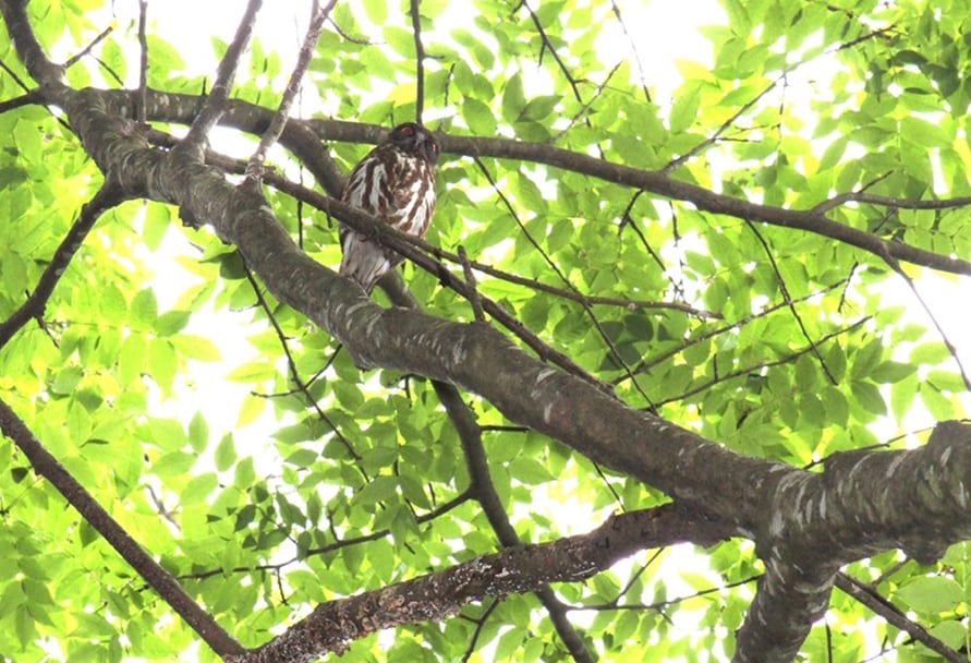 毎年、4月下旬頃からつがいのアオバズクがやってきて、ここでヒナを産み育てる。ヒナを一目見ようと訪れる愛鳥家も少なくない。