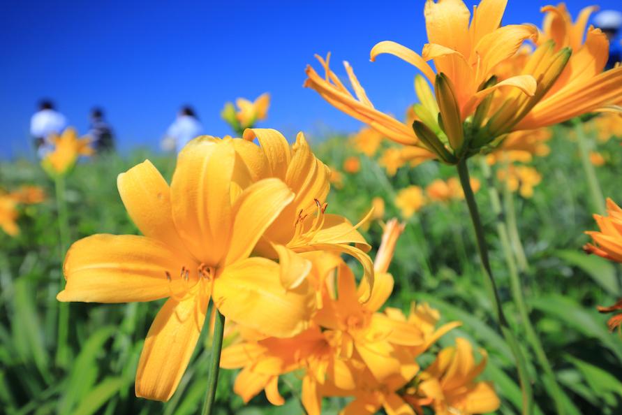 およそ100万本のトビシマカンゾウが、一面の黄色の絨毯のように咲き誇る。