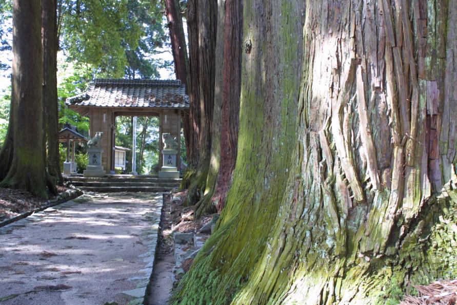 杉の樹高は27~30m。高さもさることながら、木の根元の太さには驚かされる。