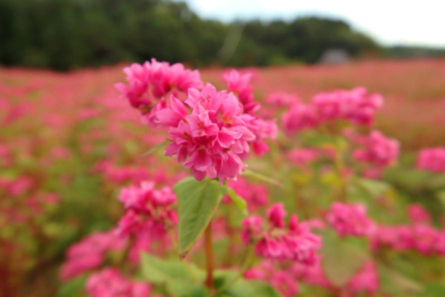 標高約780mの芸北高原にあり、初秋の風に吹かれて揺れる赤そばの花畑。