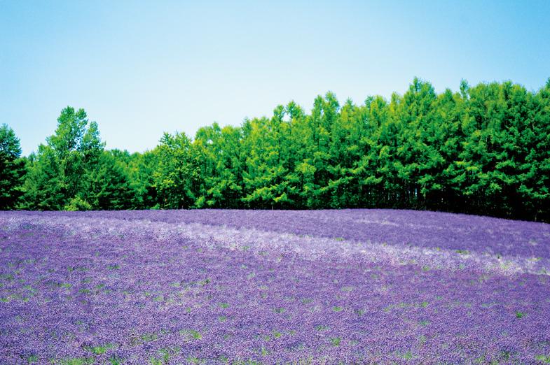 富良野~旭川 お花畑とロマンチックな世界にひたるドライブルート