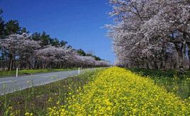絶景ドライブルート 菜の花と桜が沿道を彩るフラワーロード 秋田県大潟村