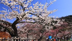 樹齢650年の古木も香る!春の訪れを感じる関東三大梅林へドライブ 埼玉県越生町