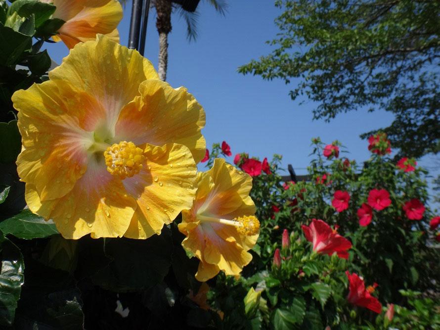 ハイビスカスは7~8月が見頃。開花時期に行われる「ハイビスカス展」では、多くの品種が展示される。