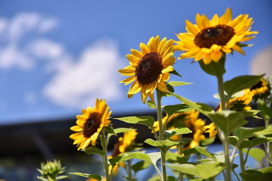 例年7月下旬頃から咲き始めるヒマワリ。多くの品種が揃う。