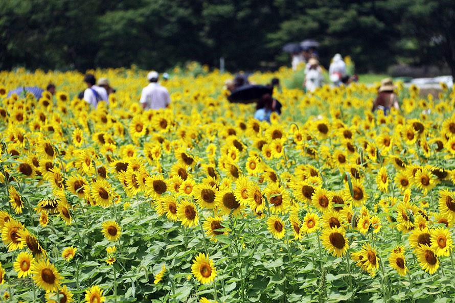 6地区に分かれたひまわり畑は見頃の時期がずらされているので、約1カ月間いずれかの畑で観賞できる。