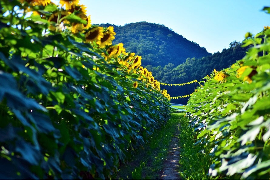 一面に広がるひまわり畑で、夏の気分を満喫。
