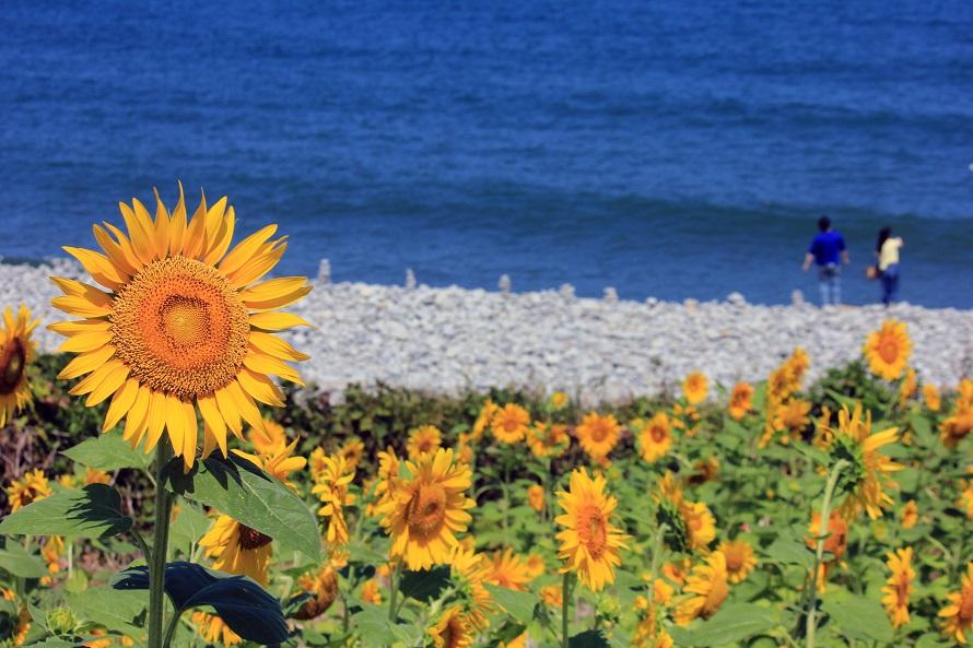 写真提供:(C)鳥取県 鳴り石の浜にあるヒマワリ畑。海辺のひまわり畑はとても珍しい。見頃は例年8月上旬~下旬。