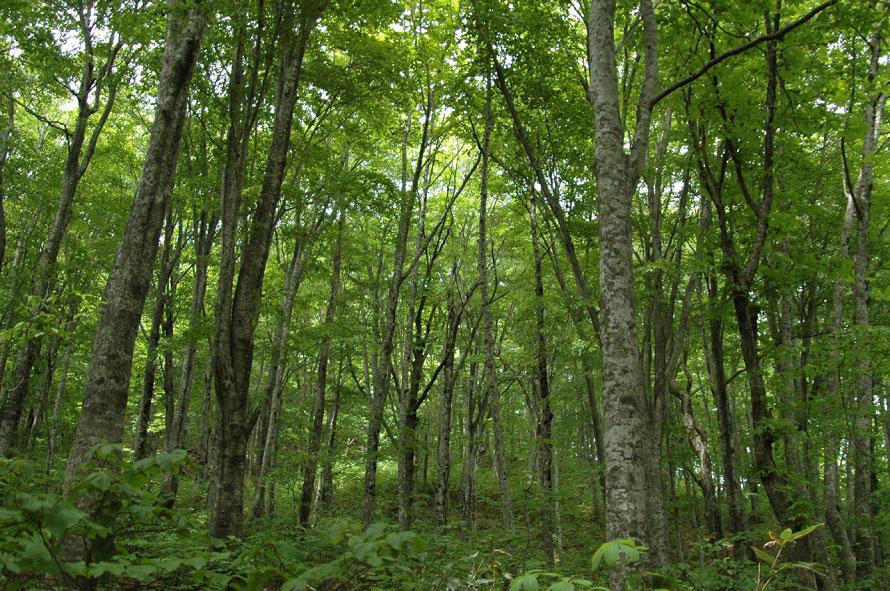 13万haに及ぶ広大な山地帯のうち、原生的なブナ林が占める区域が1993年12月に世界自然遺産に認定された。