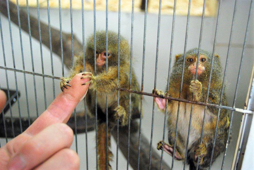 人気のお猿、ピグミーマーモセット。好奇心旺盛なところがたまらなくかわいい。