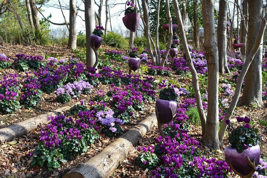 12月上旬~3月上旬には、1000株以上の青いシクラメンが咲く「青いシクラメンの小径」を散策できる。