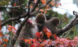 12月まで紅葉が見頃!野生のサルと会える高崎山自然動物園 大分県大分市