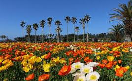 満開のポピーが南国気分を盛り上げるトロピカルなレジャーパークへドライブ 千葉県館山市