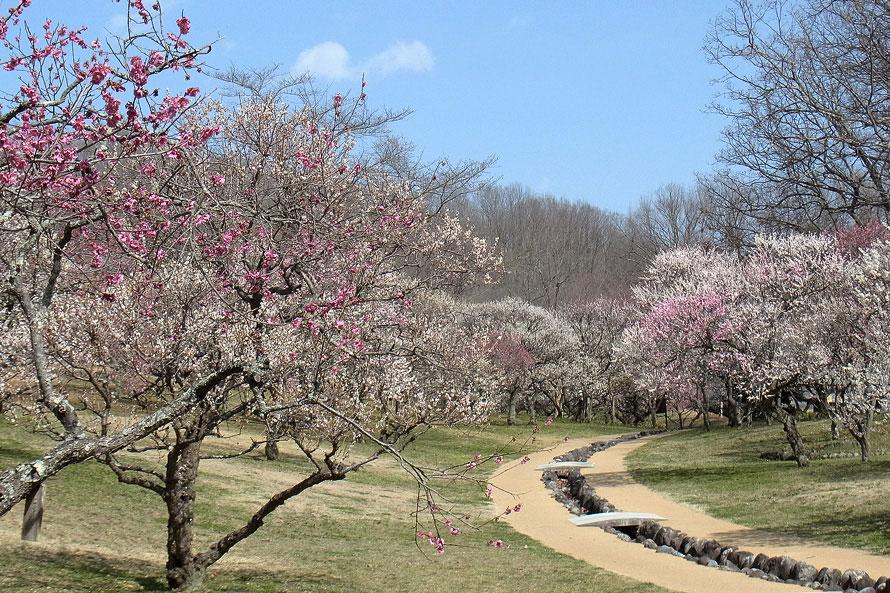 ミューズパーク内にある梅園は、紅白あわせて15種類、約600本の梅が咲き誇る秩父の梅の名所。2月下旬ごろから早咲きの梅が楽しめる。