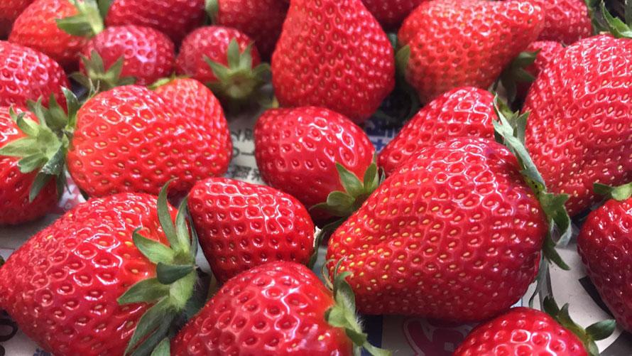 清潔なハウスで、有機・黒土を使用。「より安全でよりおいしいイチゴを」にこだわったイチゴ栽培を行っている。