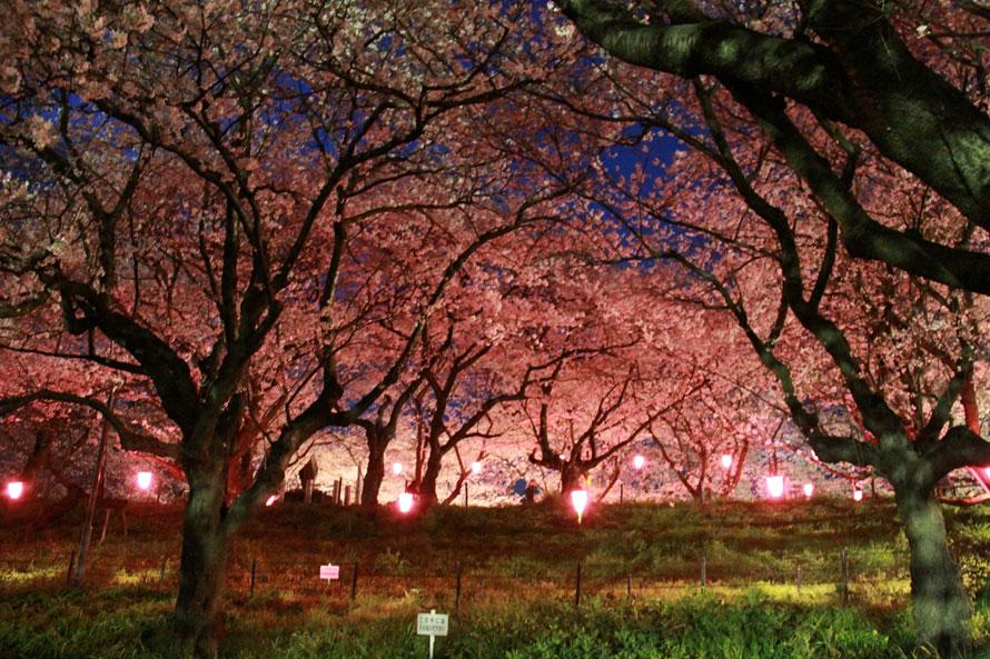 開花後は、堤中央の峠の茶屋付近の桜を、日没から22時頃までライトアップ。