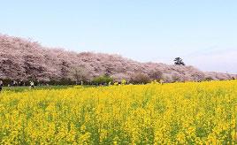 ピンクと黄色のコントラストが鮮やか!幸手権現堂桜堤のお花見へ出かけよう 埼玉県幸手市