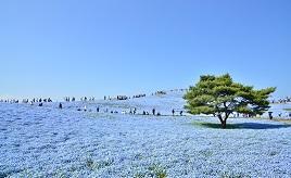 ネモフィラの青い絨毯やチューリップが楽しめる!広大な公園へドライブ 茨城県ひたちなか市