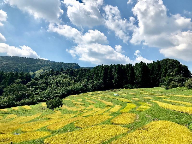 収穫間近の風景。たわわに実った稲穂が黄金色に輝く。