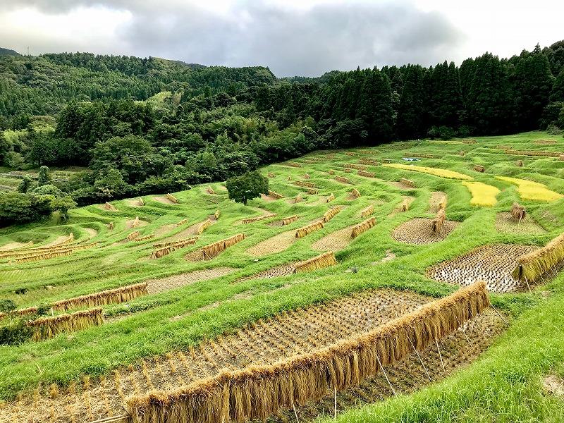 収穫された稲は掛け干しされる。この景観が見られるのはわずか1週間ほどだという。