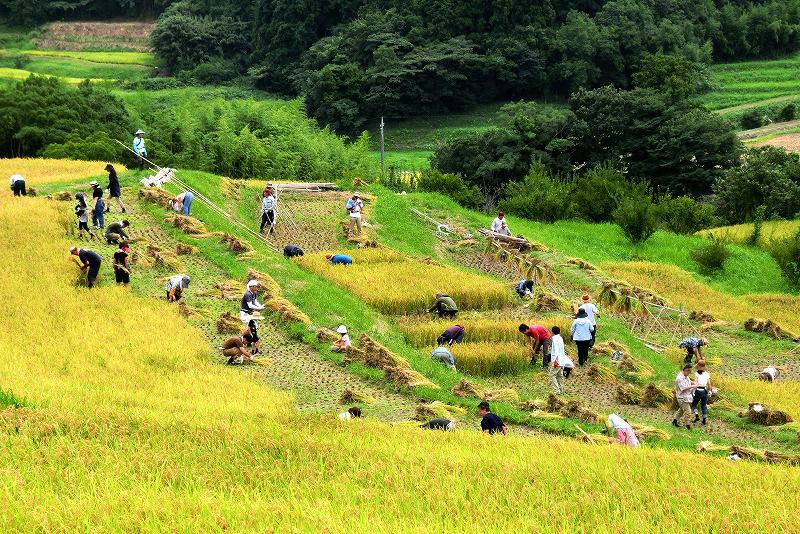 棚田オーナーによる収穫の風景。米作り体験は、さまざまなことを学ばせてくれる。