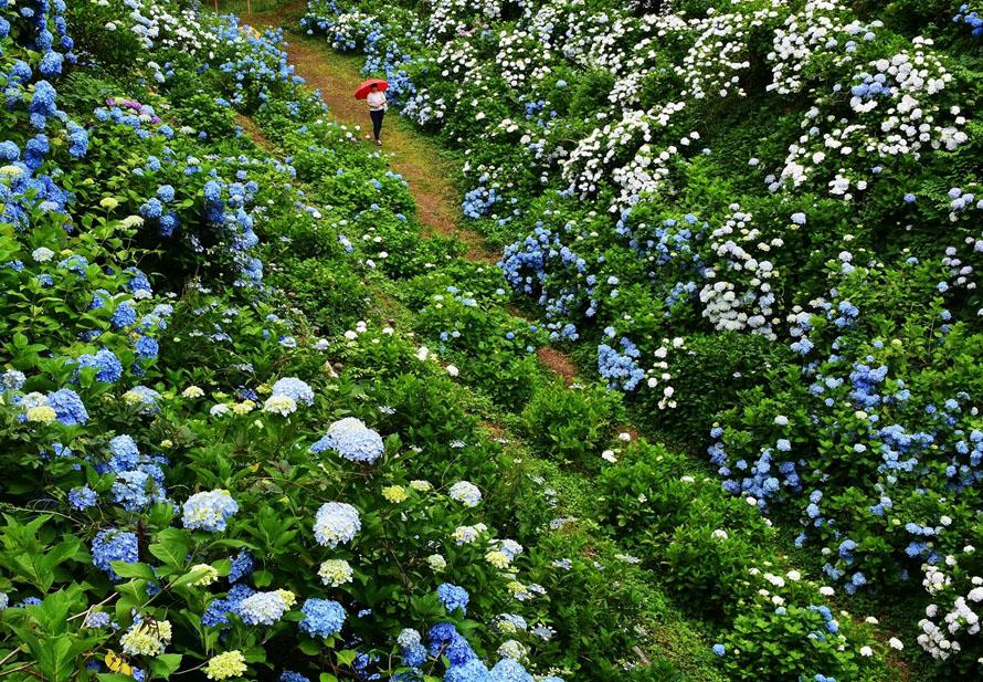 辺り一面アジサイに囲まれる小道をのんびり散策しよう。