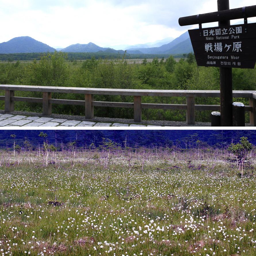 戦場ヶ原展望台からの風景(上)。白いワタスゲが見ごろの6月中旬~7月上旬ごろ(下)と、草紅葉が見られる9月下旬~10月上旬が特に人気だとか。
